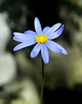 blueflower